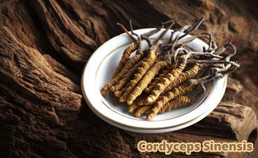 Manfaat Cordyceps Sinensis